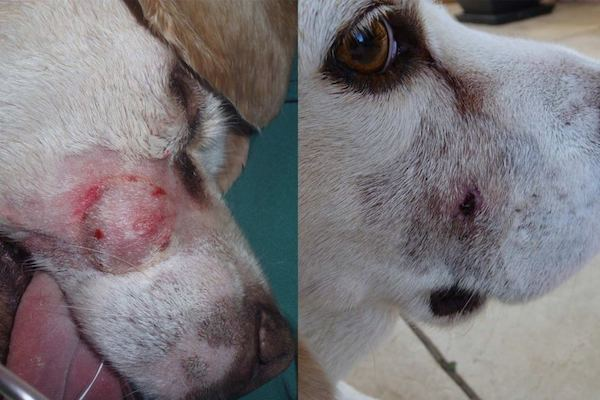Oscar the dog pre-treatment (L) and 15 days after treatment (R). Photo credit: QIMR Berghofer Medical Institute