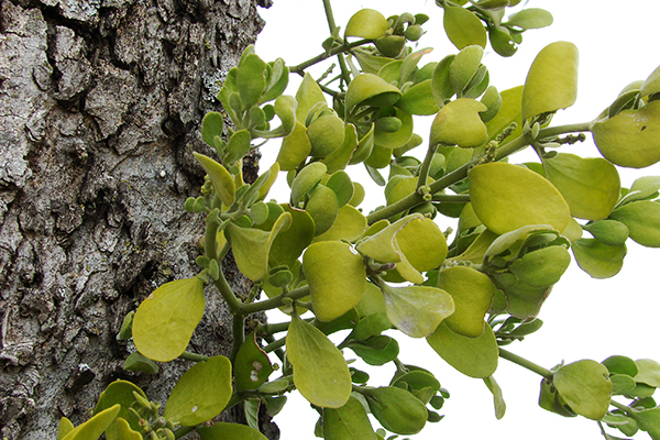 Mistletoe: not just for Christmas decorations anymore. PHOTO: By Loadmaster (David R. Tribble), Wikimedia Commons