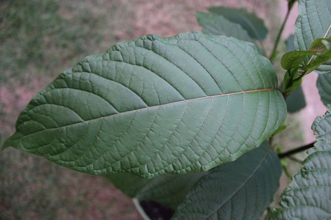 10 things you need to know about kratom
