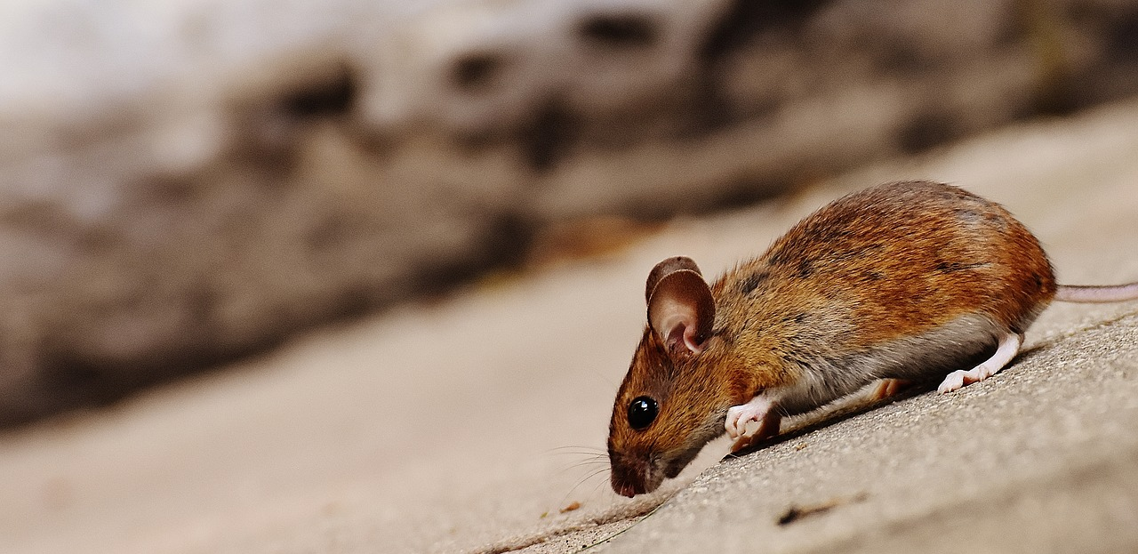 Proven natural methods to get rid of mice in your house