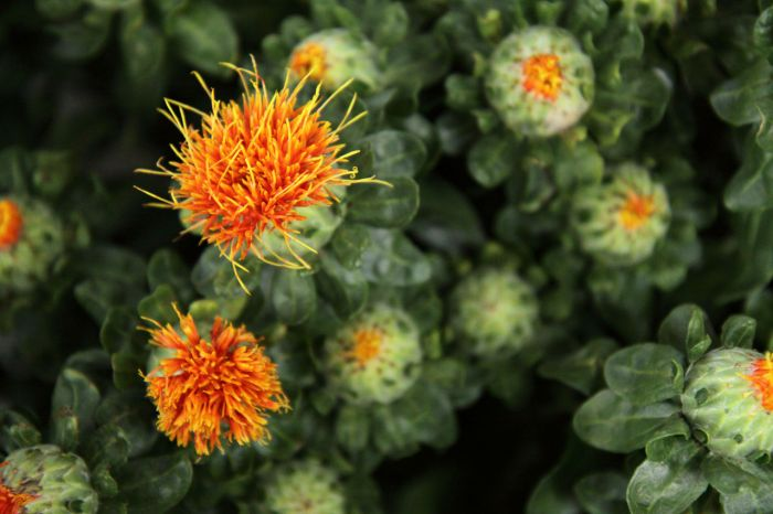 How safflower oil reduces belly fat and aids weight loss